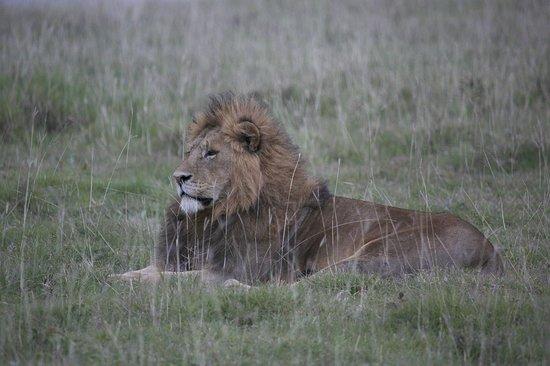 Ngorongoro Sopa Lodge: Male Lion
