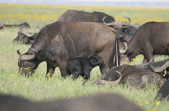 Ngorongoro Sopa Lodge: Buffalo with new calf