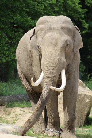 Prager Zoo: Indian elephant