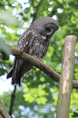 Prager Zoo: Great grey owl