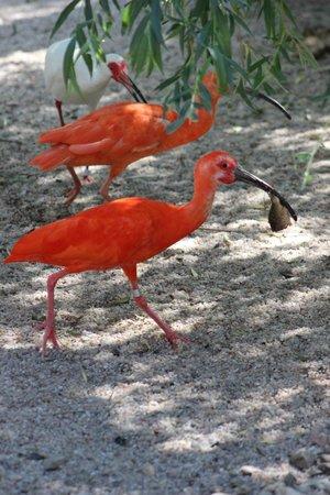 Prager Zoo: White and scarlet ibis