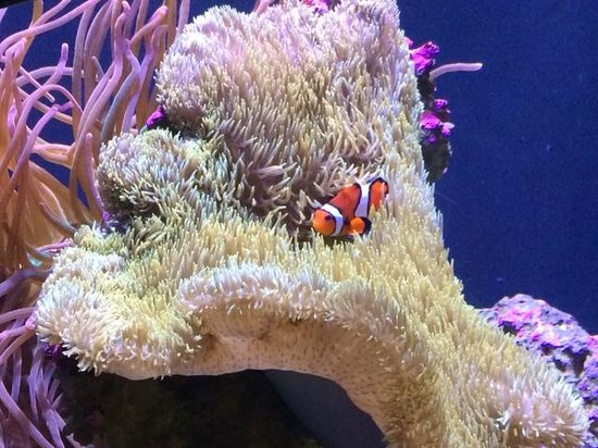 Seattle Aquarium : Clownfish in Anemone