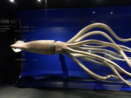 Museo Nacional de Ciencias Naturales: Calamar gigante