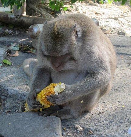 Uluwatu Temple: Monkeys are fed by the public