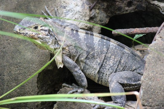 Manuel Antonio Expeditions: Iguana Sighting
