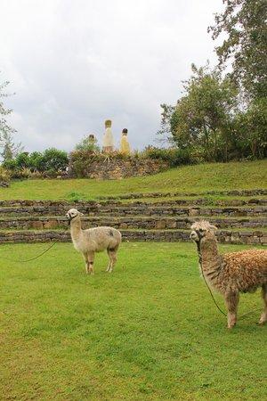 Museo de Leimebamba: 博物館で飼われているアルパカ可愛い
