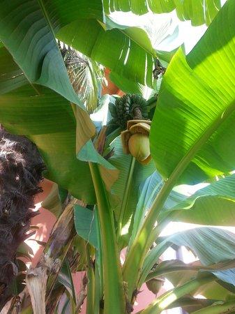 Albero di banane picture of al cardellino bardolino for Albero di banane