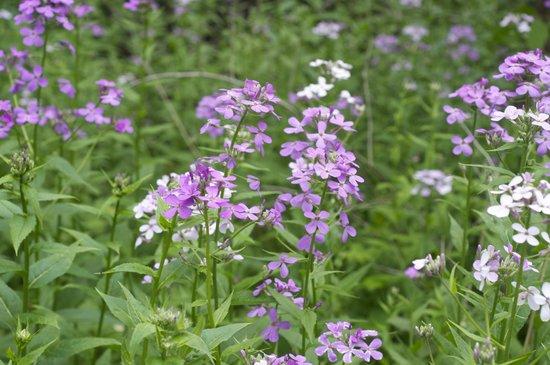 Wehr Nature Center: spring phlox