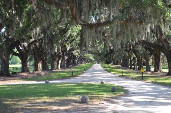 Boone Hall Plantation: oak lined drive