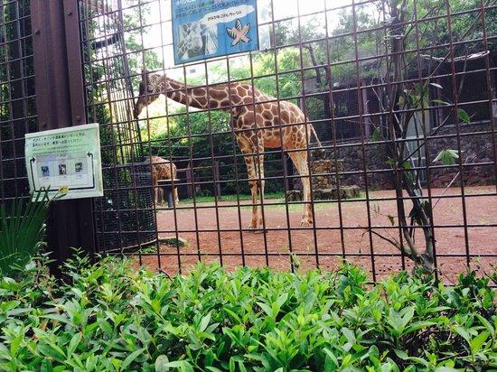 Ueno Zoo : Giraffe!