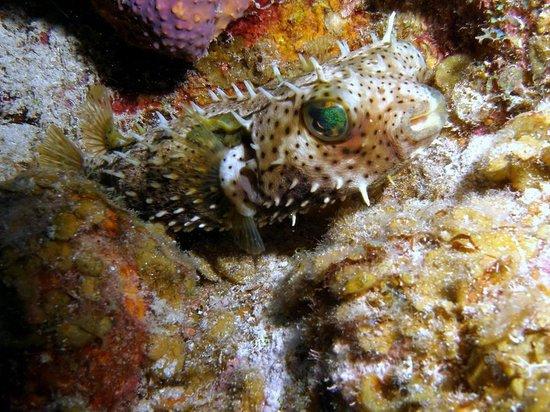 Divetech : Porcupinefish at Lighthouse Point