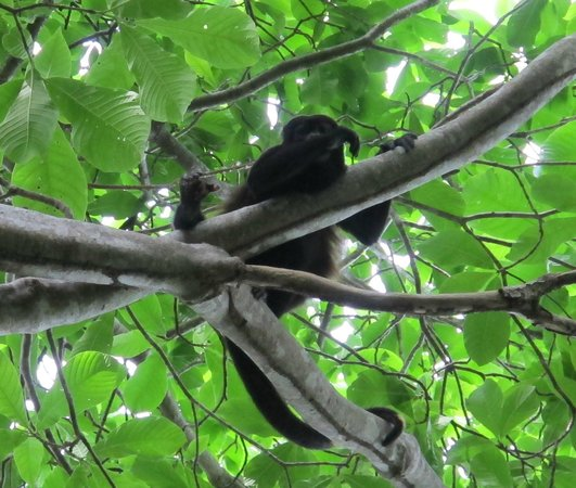 The Resort at Isla Palenque: Monkey!