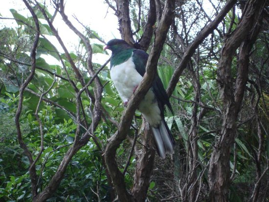 Kereru at Manuka Lodge