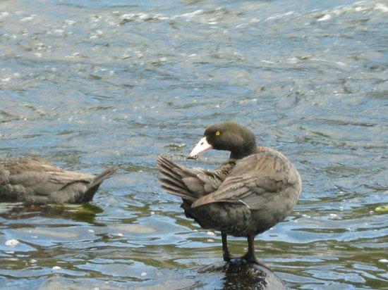 Dakune Lodge: Blue Ducks - Manganui o te Ao river