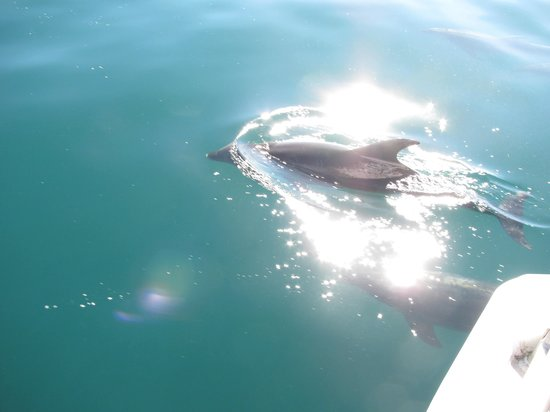 Fullers GreatSights Bay of Islands Day Tours: Dolphins beside the boat