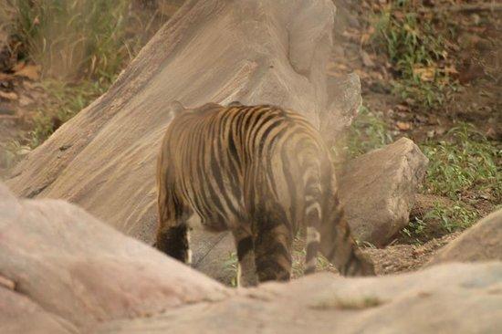 Royal Tiger Resort: Tiger - Female