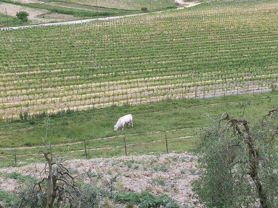 Fattoria Poggio Alloro: The famous white cows - Chianina, the Tuscan breed