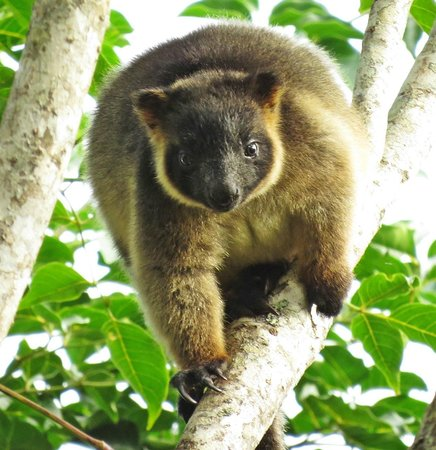 Mt Quincan Crater Retreat: Baby tree kangaroo