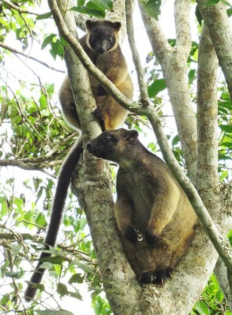 Mt Quincan Crater Retreat: Mother tree kangaroo and her baby