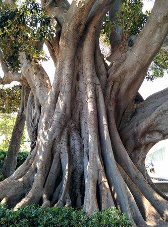 Balandro: Ficus Milenario