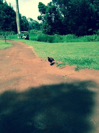 Kukuiolono Golf Course : golf course chickens and roosters