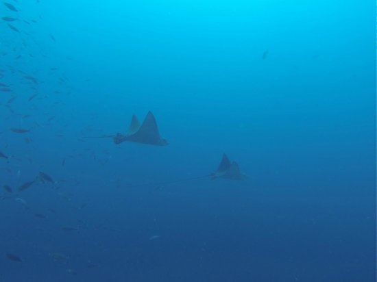 Wolf Rock Dive Centre: Eagle rays