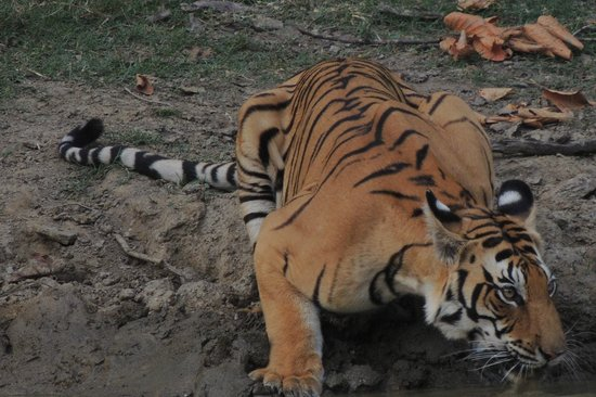 Royal Tiger Resort: One of many Tigers