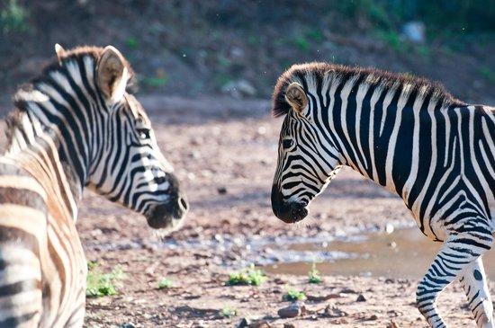 Zebras at Orange Grove Farm
