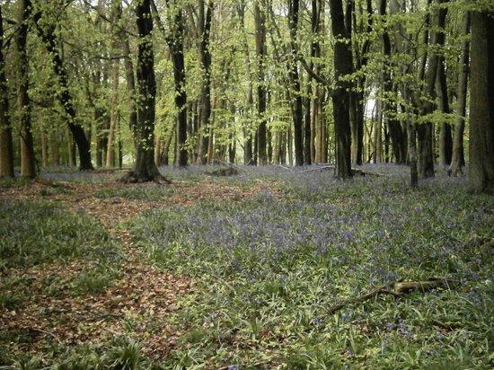 Ashridge Estate: Ashridge Bluebells
