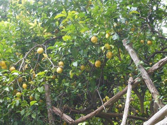 Villa Maria Bed and Breakfast: Lemon grove along the walk to Amalfi