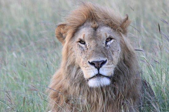 Karen Blixen Camp: Lion in the Mara