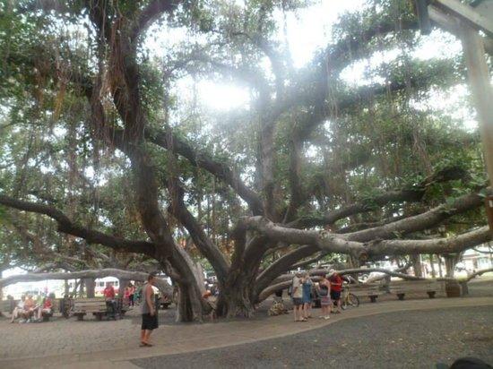 Banyan Tree Park: The Banyan Tree