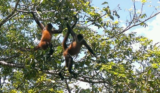 Parque Nacional Tortuguero: Spider Monkeys