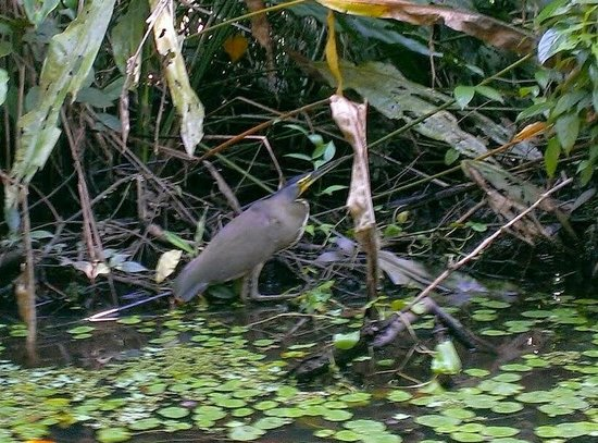 Parque Nacional Tortuguero: Tiger Heron