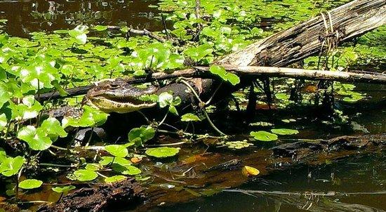 Parque Nacional Tortuguero: Caiman