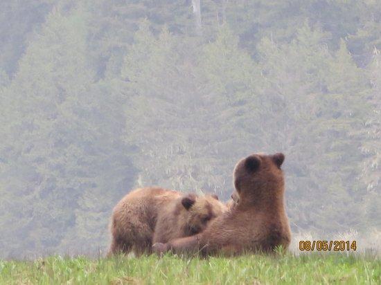 Great Bear Lodge : Bear Cubs Feeding