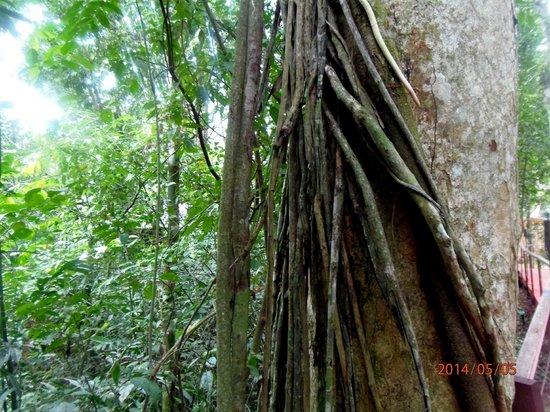 La Cantera Jungle Lodge: Arboles en el lodge.