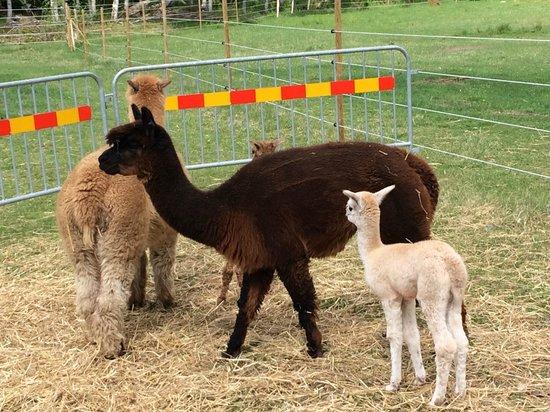 Norraengens Alpacka - Bed and Breakfast: Baby Alpacas