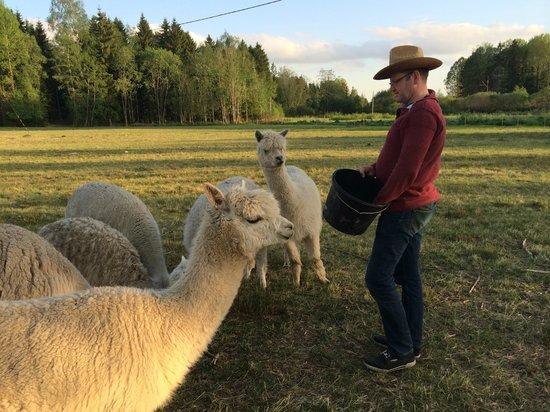 Norraengens Alpacka - Bed and Breakfast: Meeting the Ladies