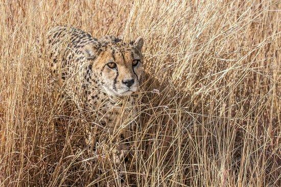 Cheetah Conservation Fund: Guepard lors du Safari dans le parc