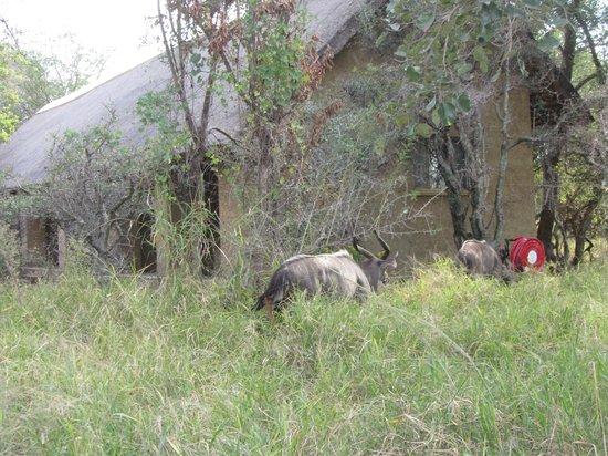 Kapama River Lodge : Kudos around camp