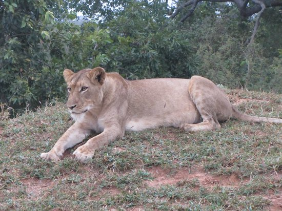 Kapama River Lodge: Lioness considering prey