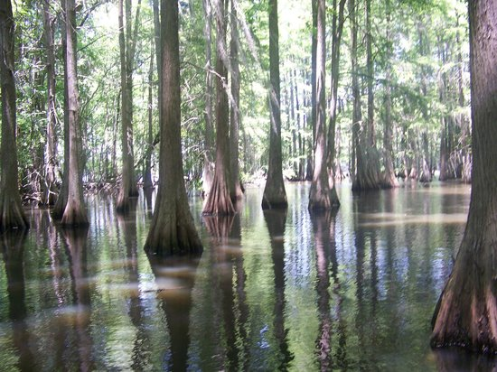 Santee State Park: View from the cypress trees