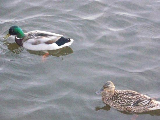 Santee State Park: Drake and hen mallards