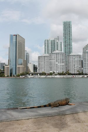 Mandarin Oriental, Miami: Местные игуаны