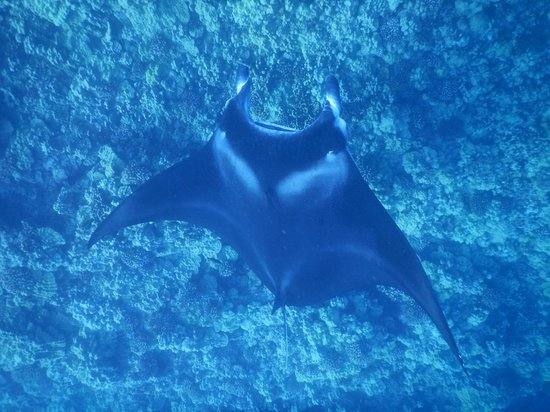 Wild Hawaii Ocean Adventures (WHOA): Manta ray (manta alfredi, hahalua), Vito's Reef off Kailua-Kona, Hawaii, HI