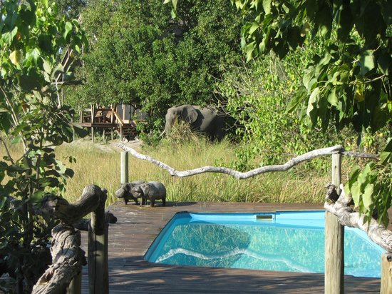 Lebala Camp - Kwando Safaris: Elephant by camp and pool