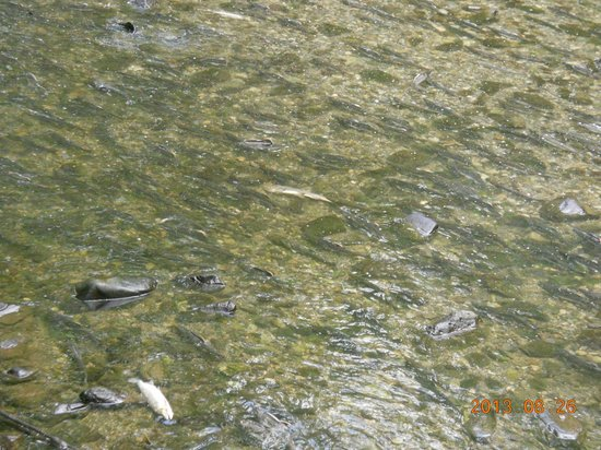 Sitka National Historic Park/Totem Park: Salmon Spawning