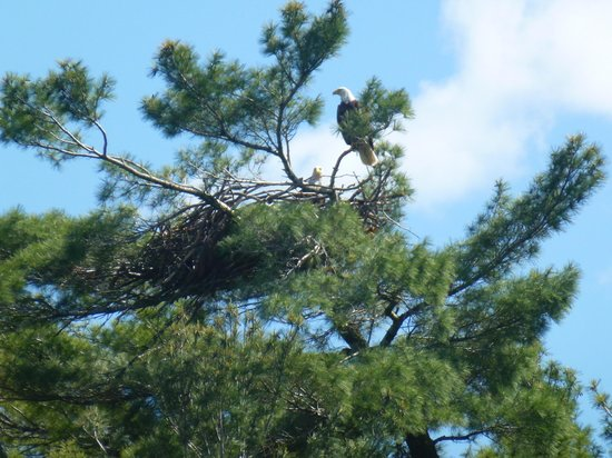 Chaudiere Lodge: Two Bald Eagles nesting
