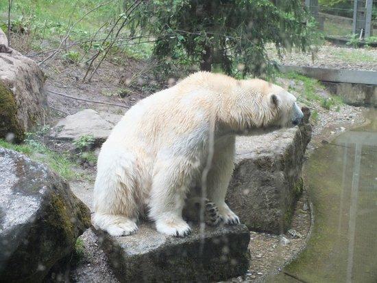 Tierpark Hellabrunn: Белые медведи